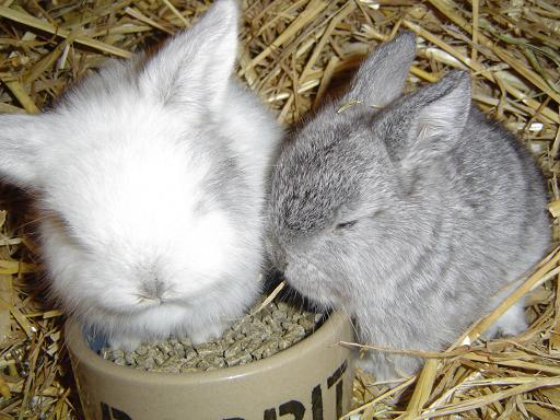 Connu Elevage de L'Orangeraie: Tout sur le lapin nain YQ43
